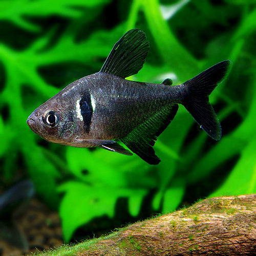 ブラックファントムテトラ  1匹 (熱帯魚)