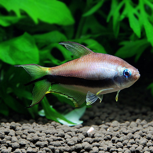 エンペラーテトラ 合計10匹(8匹+2匹サービス) (熱帯魚)