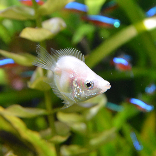 バルーンキッシンググラミー 5匹 (熱帯魚)