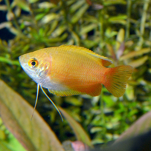 ゴールデンハニーグラミー 1匹 (熱帯魚)