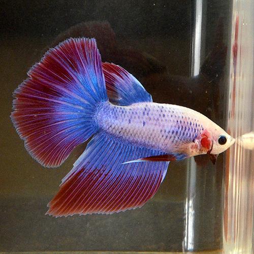 ショーベタ ライトグレード オス(熱帯魚)