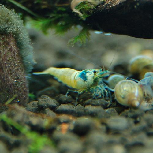ターコイズシュリンプ 2匹(熱帯魚)