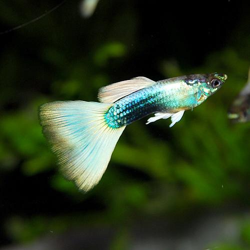 国産 上物 ドイツイエロータキシードL(種親サイズ) 1pr(熱帯魚)