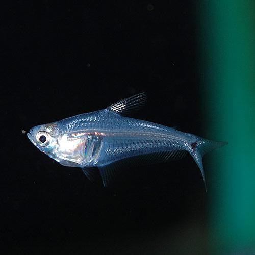 ペルーグラステトラ 1匹(熱帯魚)