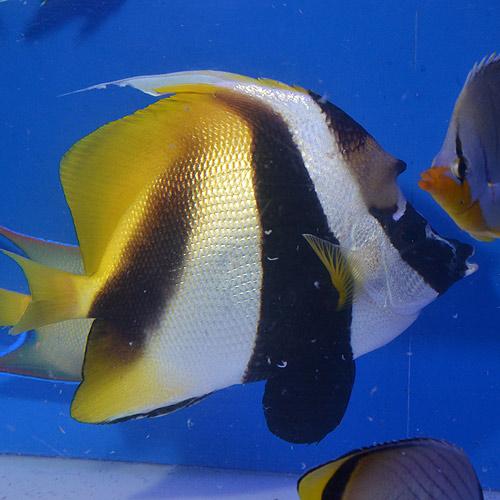 オニハタタテダイ 沖縄産 LL〜XLサイズ (海水魚)