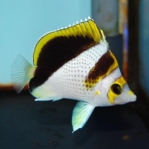 イエロークラウンド・バタフライ SM〜Mサイズ ノーマルグレード (海水魚)