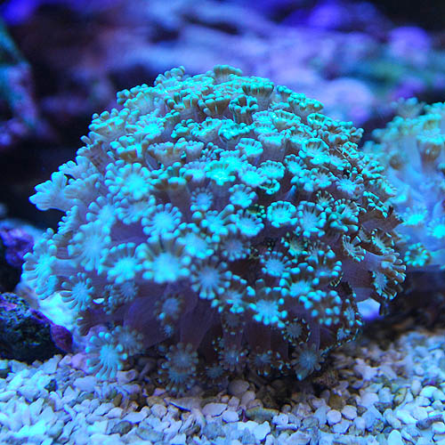 アワサンゴ グリーン(海水魚)