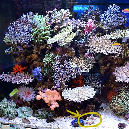 オオバナサンゴ マルチカラー (海水魚)