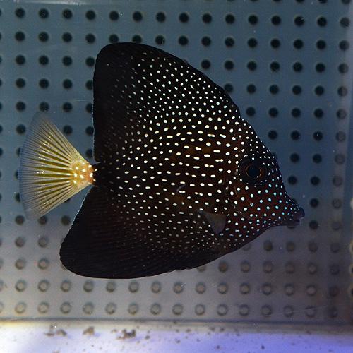 ジェムタン S〜SMサイズ (海水魚)