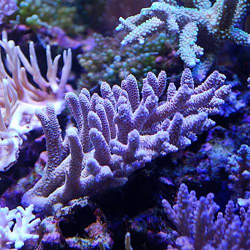 おまかせ浅場系ミドリイシ2点セット<サンゴ担当セレクト>(海水魚)