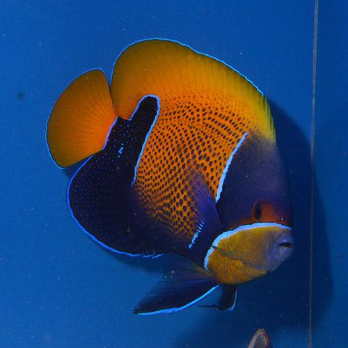 イナズマヤッコ  LL〜XLサイズ (海水魚)