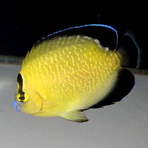 ゴールドフレークエンゼル   S〜SMサイズ 2916n (海水魚)