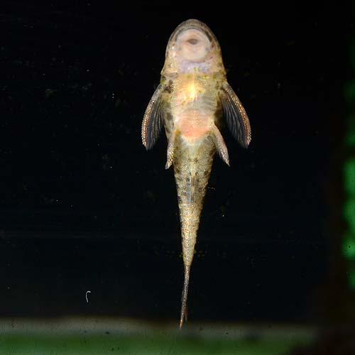パラオトシン・マクリカウダ1匹(熱帯魚)