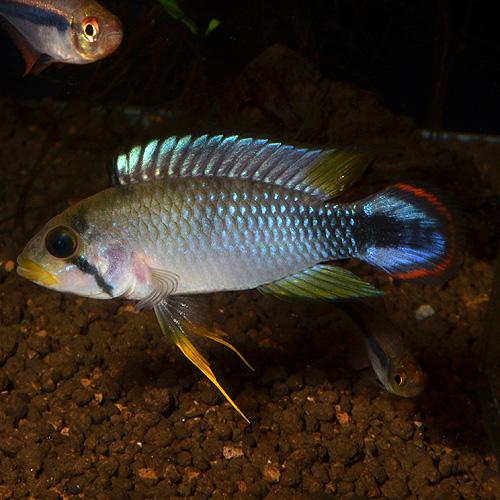 "Ap パンドゥリニ ""ペルー産"" ワイルド個体 1pr 2931j (熱帯魚)"