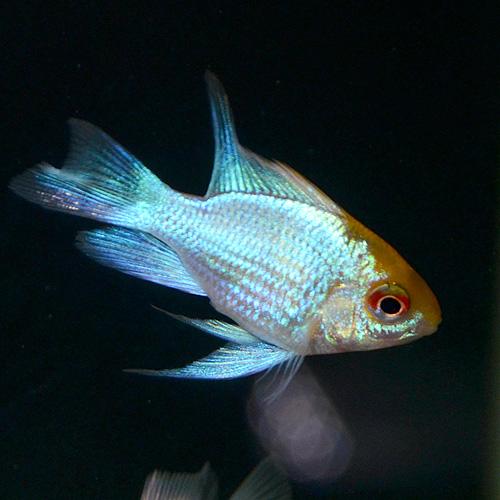 HBゴールデンコバルトラム Sサイズ 2匹 (熱帯魚)
