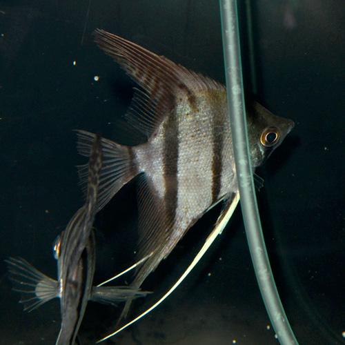 スカラレエンゼル ペルー産 ML〜Lサイズ 1匹(熱帯魚)