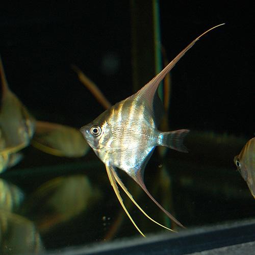 アルタムエンゼル M〜MLサイズ 1匹 (熱帯魚)