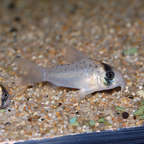 Co.アトロペルソナータス(ワイルド)3匹(熱帯魚)