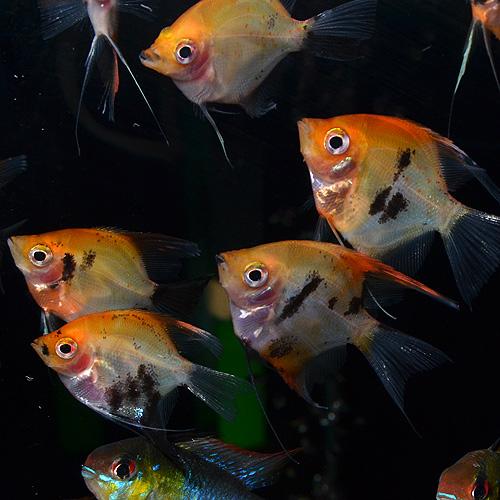 レッドデビルエンゼルフィッシュ S〜SMサイズ 1匹 欧州ブリード (熱帯魚)