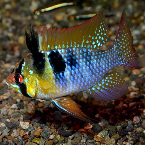 オランダラム Lサイズ 1Pr (熱帯魚)