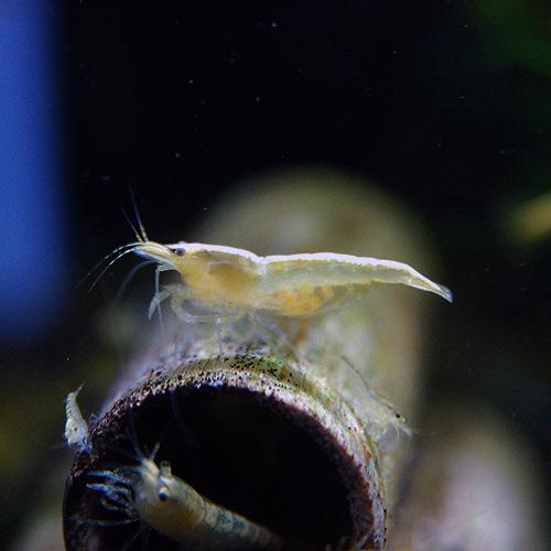 イエローチェリーシュリンプ  合計5匹(4匹+1匹サービス)(熱帯魚)
