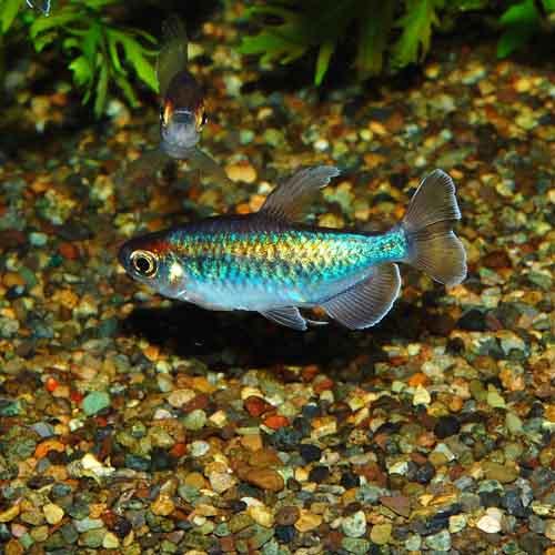 コンゴテトラMサイズ 合計5匹(3匹+2匹サービス)(熱帯魚)