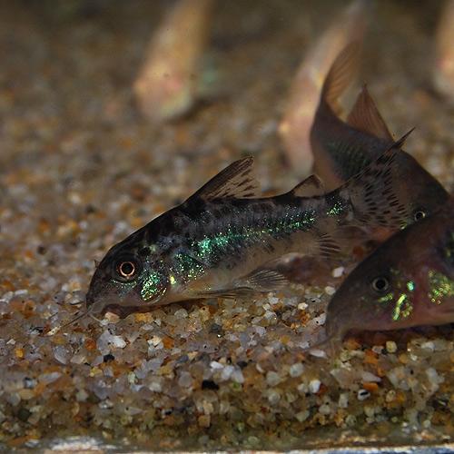 Co.パレアタス(ブリード個体)5匹(熱帯魚)