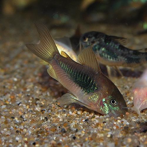 Co.アエネウス(ブリード個体)5匹(熱帯魚)