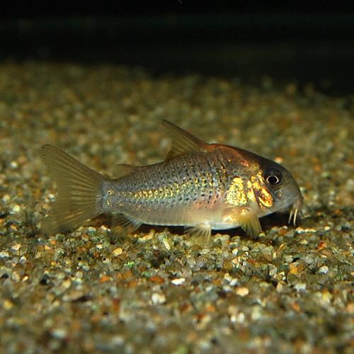 Co.SNルイーザ(ワイルド)(熱帯魚)
