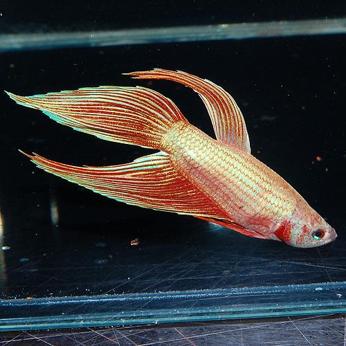 トラディショナルベタ オス(熱帯魚)