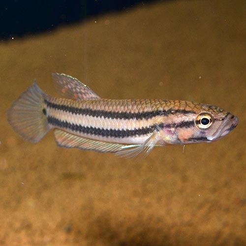 """ベタ・マクロストマ """"Brunei産"""" 1pr  (熱帯魚)"""