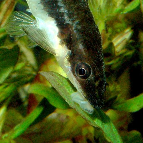 オトシンクルス  4匹+【1匹プレゼント】 合計5匹 (熱帯魚)