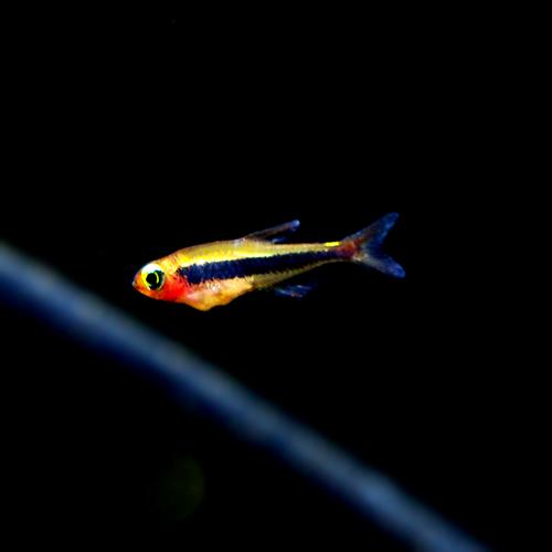 トゥッカーノテトラ (熱帯魚)