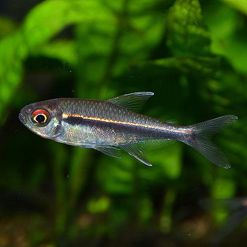 ハイフェソブリコン・ヘテロラブドゥス 5匹(熱帯魚)