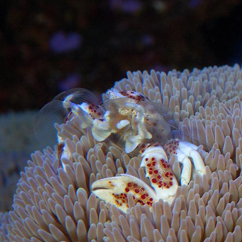 アカホシカニダマシ(海水魚)
