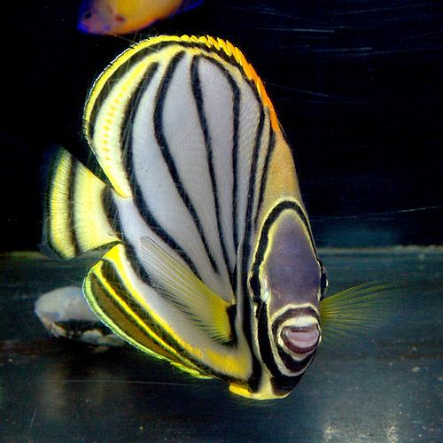 オウギチョウ M〜MLサイズ (海水魚)
