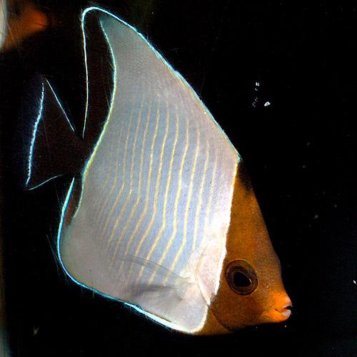 オレンジフェイスバタフライ(海水魚)