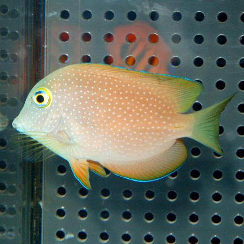 コーレタン モルジブ産 SM〜Mサイズ (海水魚)