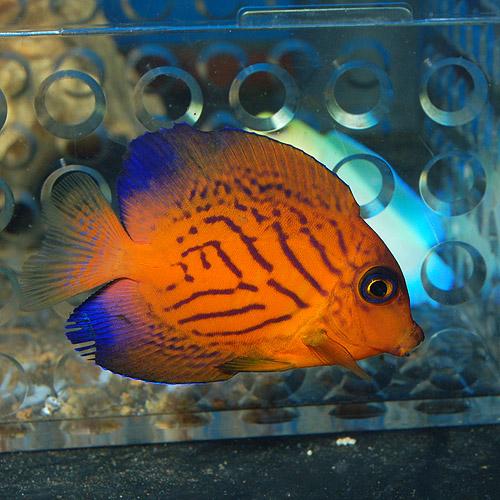 シェブロンタン S〜SMサイズ (海水魚)