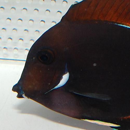 アキレスタン 2612au (海水魚)