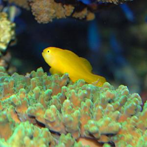 イエローゴビーセット!ギンガハゼ&キイロサンゴハゼ(海水魚)