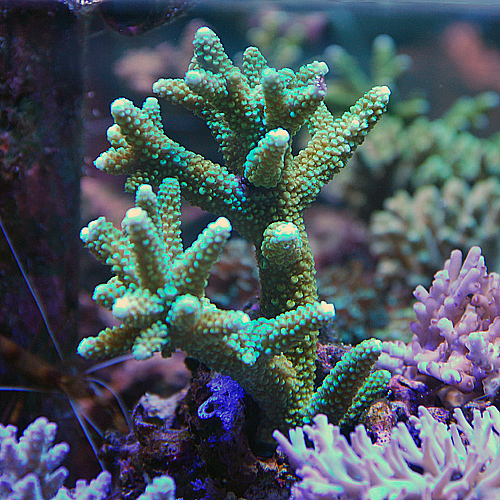 おまかせ ミドリイシ2点セット<サンゴ担当セレクト>(海水魚)