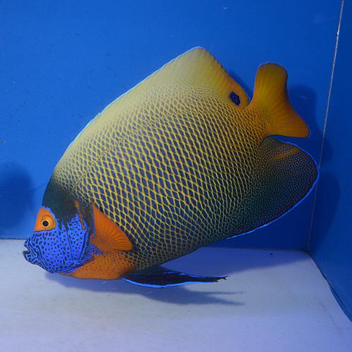 アデヤッコ XL〜XXLサイズ (海水魚)
