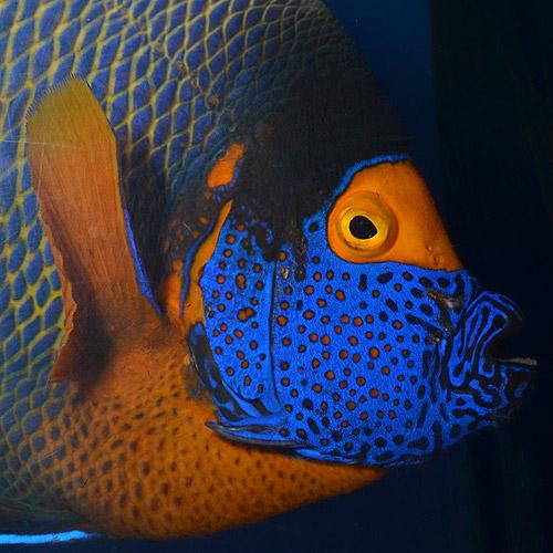 アデヤッコ モルジブ産 XXL〜∞サイズ  (海水魚)