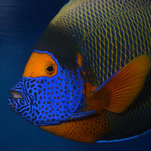 アデヤッコ モルジブ産 XL〜XXLサイズ (海水魚)