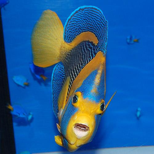 スクリブルド・エンゼルフィッシュ 西オーストラリア産 オス個体 2506d (海水魚)