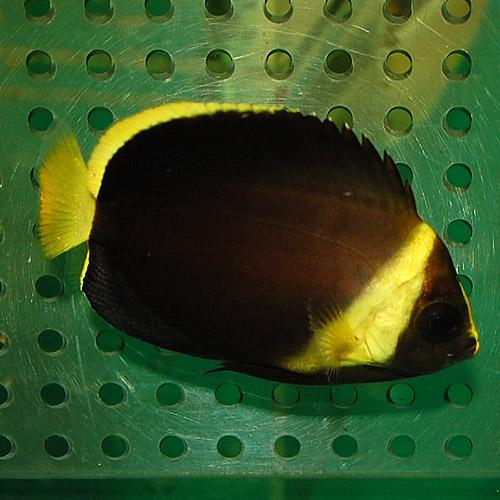 アカネキンチャクダイ(マゼエンゼル)14.3�(海水魚)