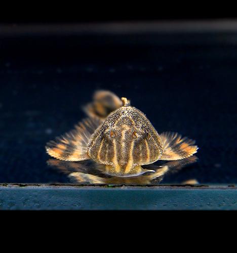 タイガープレコ (熱帯魚)