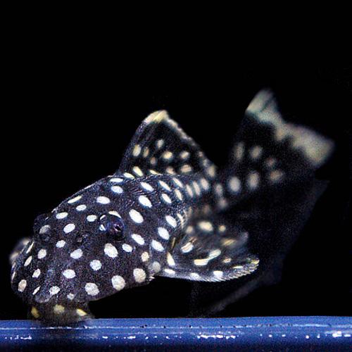 オレンジフィンカイザープレコ(熱帯魚)