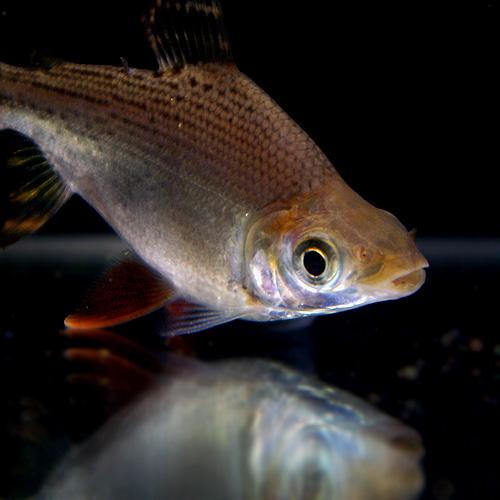 カラープロキロダス(S) (熱帯魚)